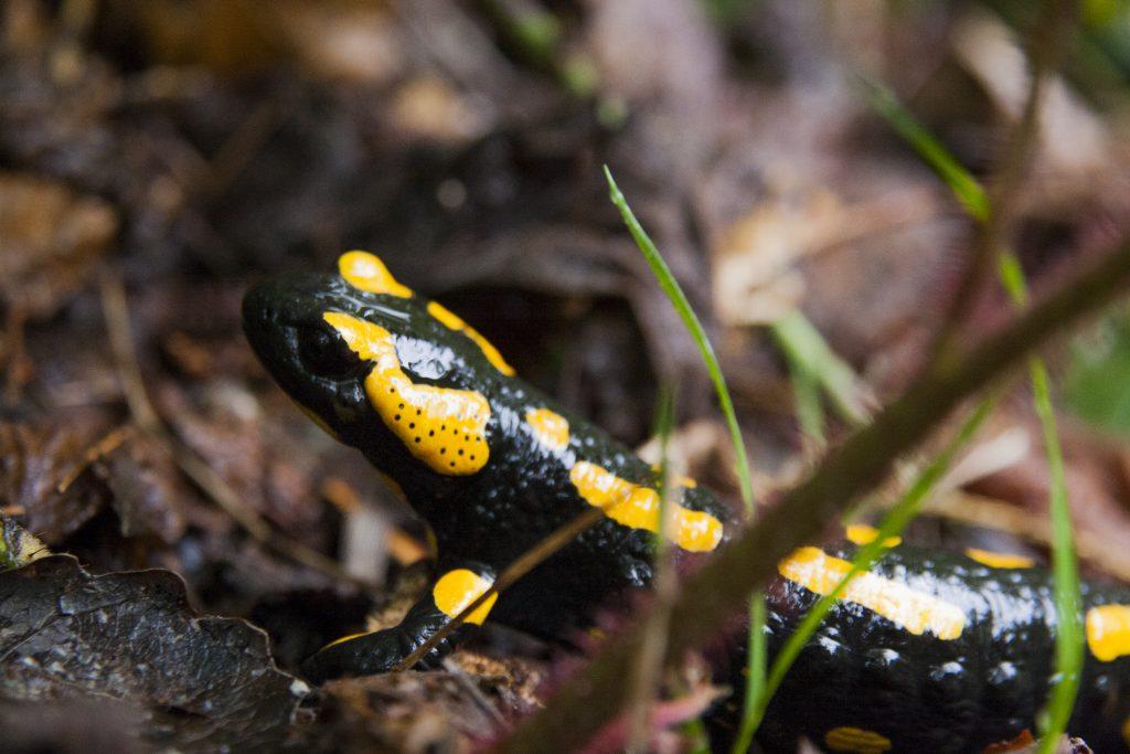 Salamandra plamista Luboń Wielki