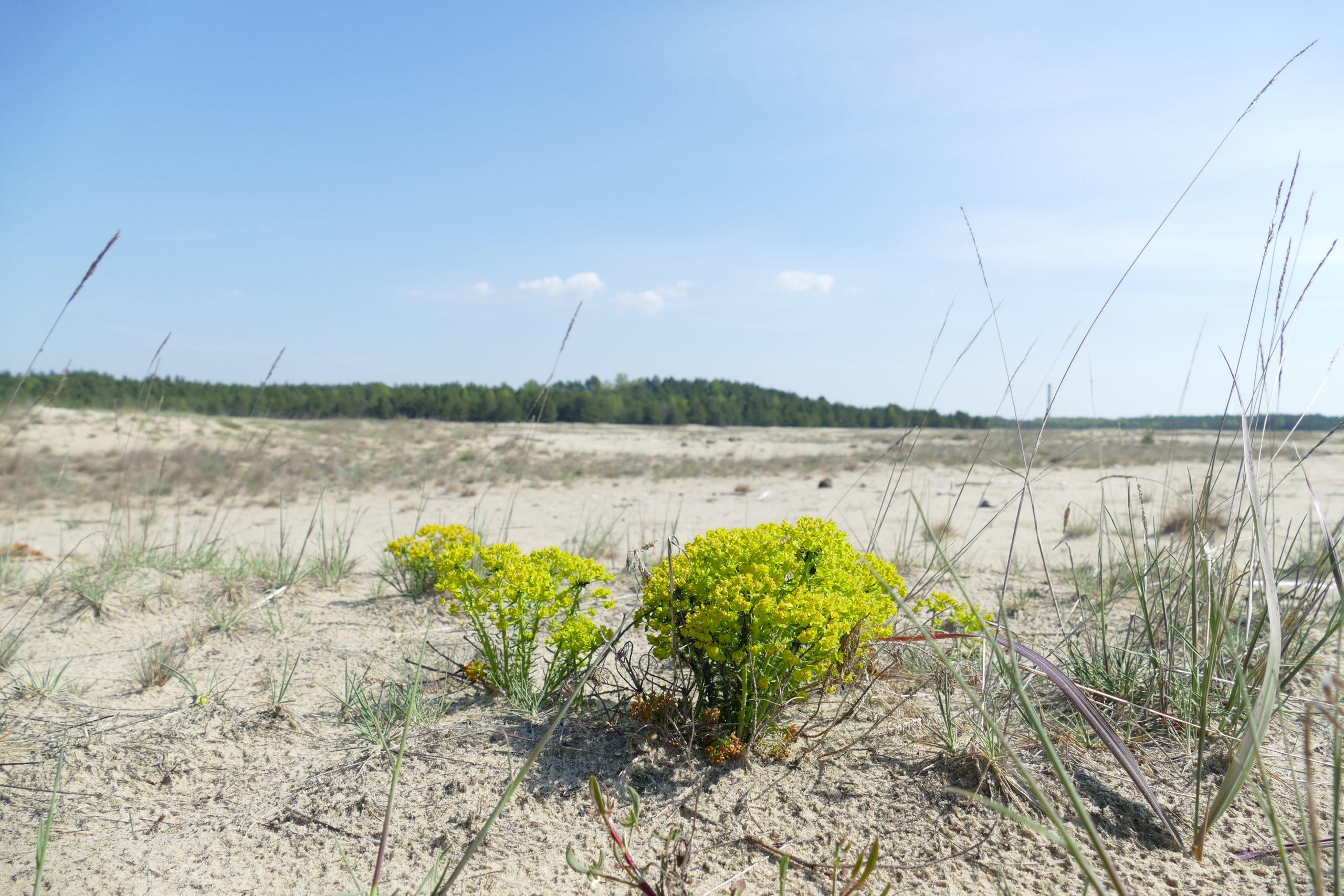 Kocanki piaskowe na Pustyni Błędowskiej